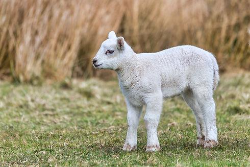 Lambing 5.jpeg