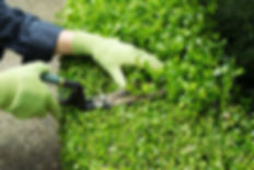 trimming-hedges-manual-shears-horizontal