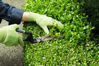 trimming-hedges-manual-shears-horizontal