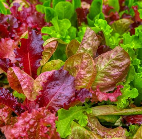 Summer - Mixed Salad Leaves
