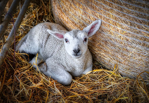 Newborn Lamb.jpeg