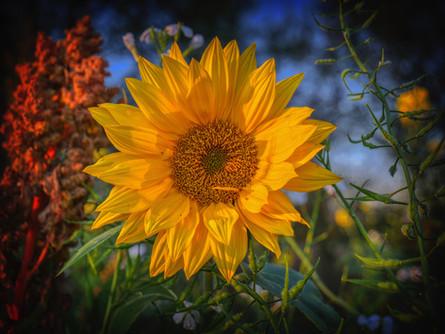Gorgeous Autumn Sunflower