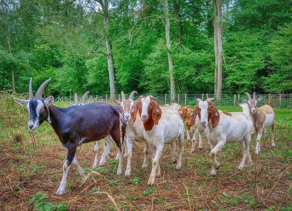 Goat Patrol.jpeg
