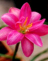 Zephyranthes 'Luhaoning' บัวดินกลีบซ้อน