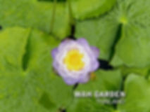 Nymphaea Gigantea 'Pakornphan' waterlily
