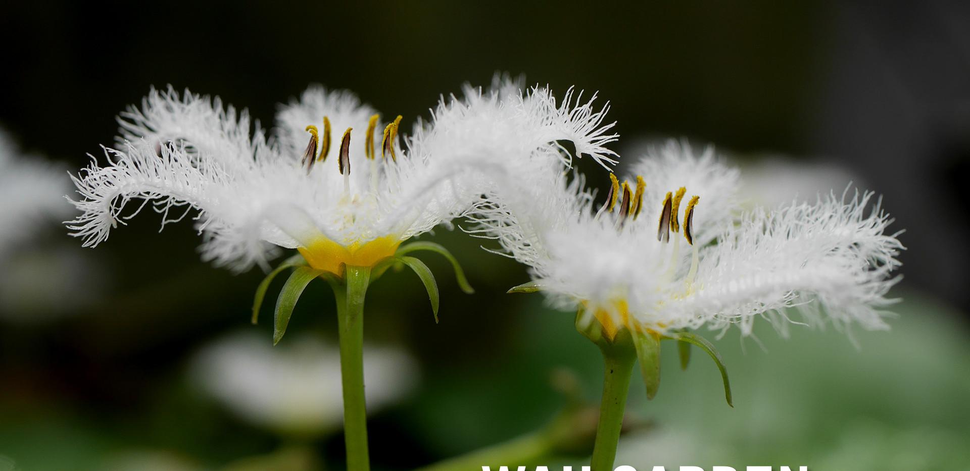 บัวบา ตับเต่าใหญ่ ดอกสีขาว Water Snowfla