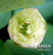 Chuehuang Lotus yellow color.jpg