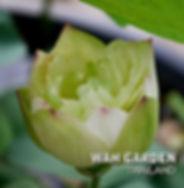 Chuehuang Lotus Yellow 3.jpg