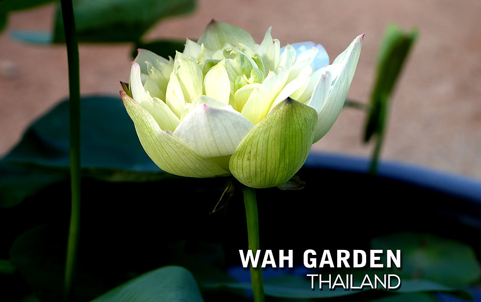 Chuenhuang Lotus Yellow 1.jpg