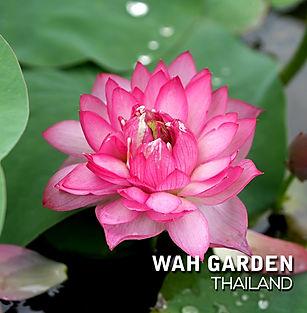 Lotus 'Hong Guo' บัวหลวง 'หงโก้ว' 6.jpg