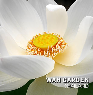 Super Bright Xiamen Lotus 10.jpg