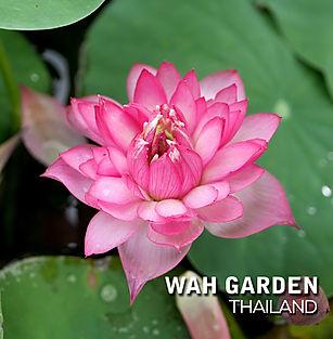 Lotus 'Hong Guo' บัวหลวง 'หงโก้ว' 3.jpg