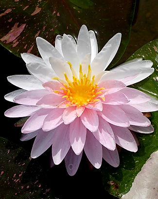 Nymphaea 'Painted Lady' Hardy Waterlily
