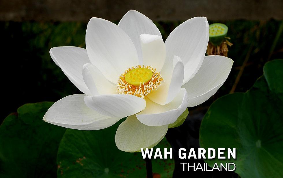 Super Bright Xiamen Lotus 6.jpg