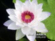 Nymphaea 'Kaisorn' HxT Waterlily บัวยักษ