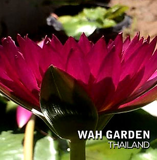 Kamonkan tropical waterlily บัวผันกมลกาญ