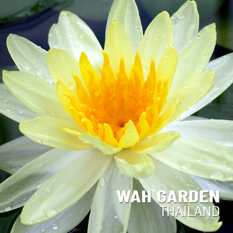 บัวฝรั่งสีเหลือง 'ซันไรส์' | Nymphaea 'Sunrise' Hardy Waterlily
