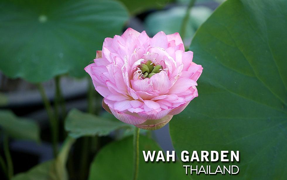 Nelumbo nucifera 'Fen Chong Tai' Lotus T