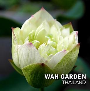 Chuehuang Lotus Yellow 6.jpg