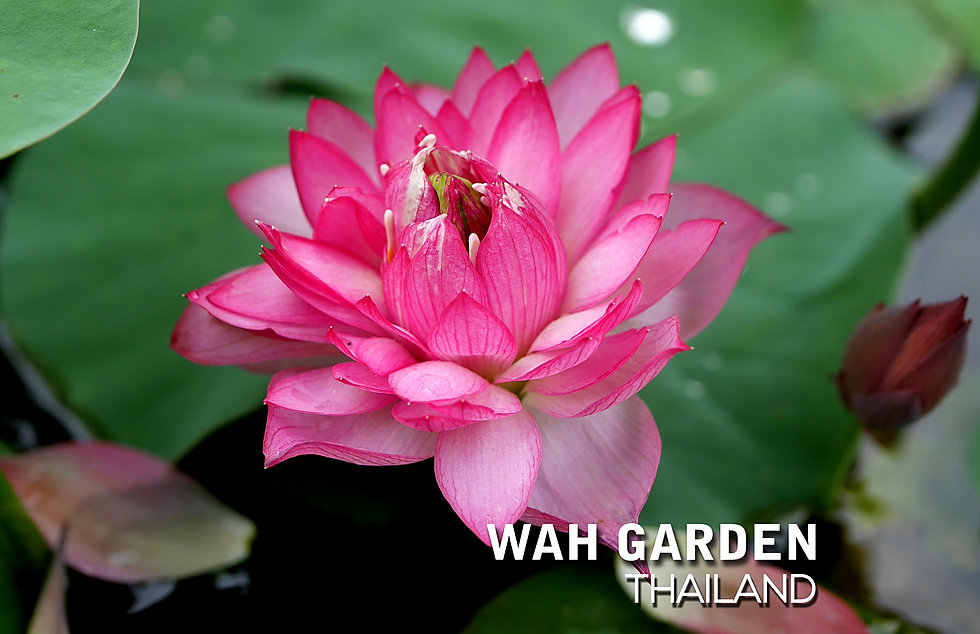 Lotus 'Hong Guo' บัวหลวง 'หงโก้ว' 2.jpg
