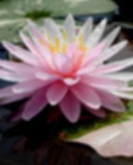 Nymphaea 'Painted Lady' Hardy Waterlily บัวฝรั่งใบด่าง 'เพนเต็ด เลดี้' 2.jpg