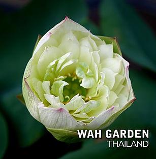 Chuehuang Lotus Yellow 4.jpg