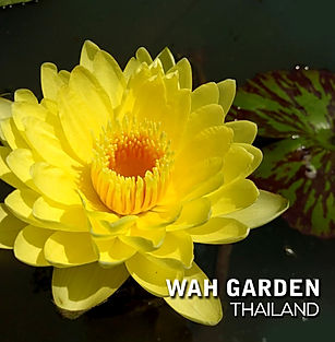 Nymphaea 'Chan Wad' Tropical Waterlily บ