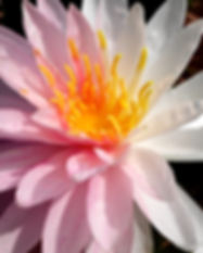 Nymphaea 'Painted Lady' Hardy Waterlily บัวฝรั่งใบด่าง 'เพนเต็ด เลดี้' 4.jpg