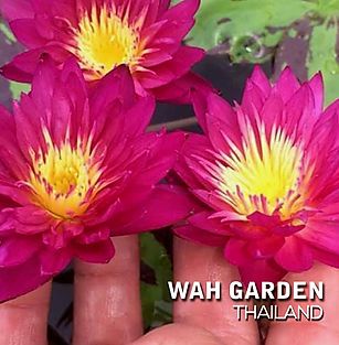 Nymphaea 'Nida' Tropical Waterlily บัวผั