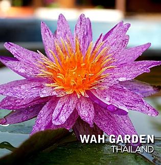 Nymphaea 'Gula' HxT Waterlily บัวลูกผสมข