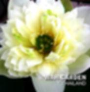 Chuehuang Lotus Yellow 8.jpg