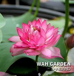Lotus 'Hong Guo' บัวหลวง 'หงโก้ว' 4.jpg