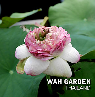 Sacred Lotus 'Ju Wu Ba 13' Lotus บัวหลวง