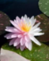 Nymphaea 'Painted Lady' Hardy Waterlily บัวฝรั่งใบด่าง 'เพนเต็ด เลดี้' 7.jpg