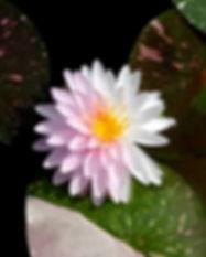 Nymphaea 'Painted Lady' Hardy Waterlily บัวฝรั่งใบด่าง 'เพนเต็ด เลดี้' 9.jpg