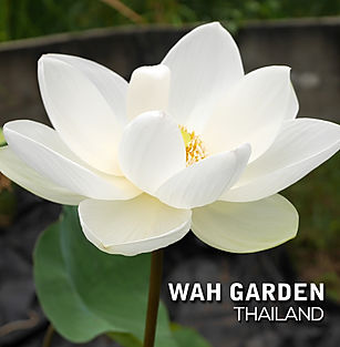 Super Bright Xiamen Lotus 11.jpg