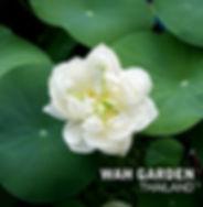 Nelumbo nucifera 'Carl Icahn' Lotus บัวห