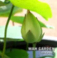 Chuehuang Lotus Yellow 2.jpg
