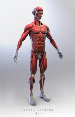 Ecorché - Anatomía muscular