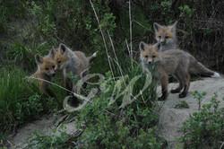 Little Ones - Fox