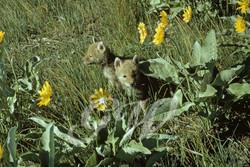Little Ones - Coyote