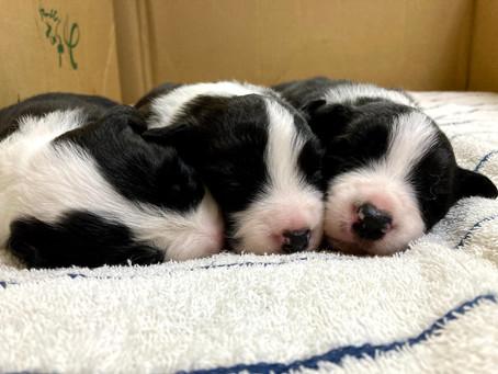 10月2日ボーダーコリー子犬生まれました!
