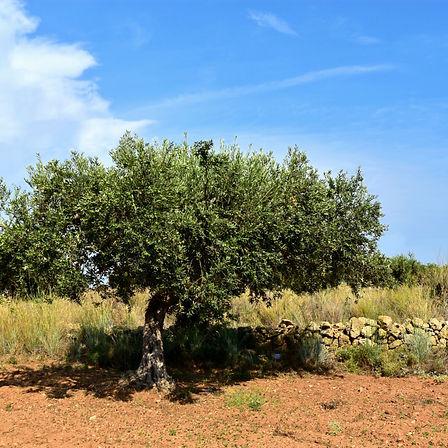 Einer von unendlich vielen Olivenbäumen in Italien. Praktisch jede Familie in Sizilien besitzt eigene Olivenbäume. Mit viel Sorgfalt werden die Oliven kultiviert und mit Liebe zum feinsten Olivenöl verarbeitet.