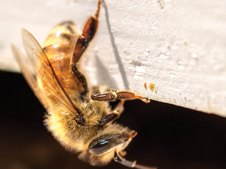 Female Honey Bee Guarding The Hive