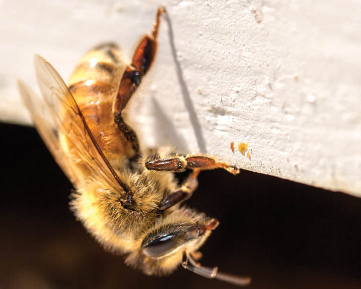 This female honey bee takes her job very seriously. She hangs upside down and keeps a lookout for predators. They don't want to stink but they will if they feel threatened...
