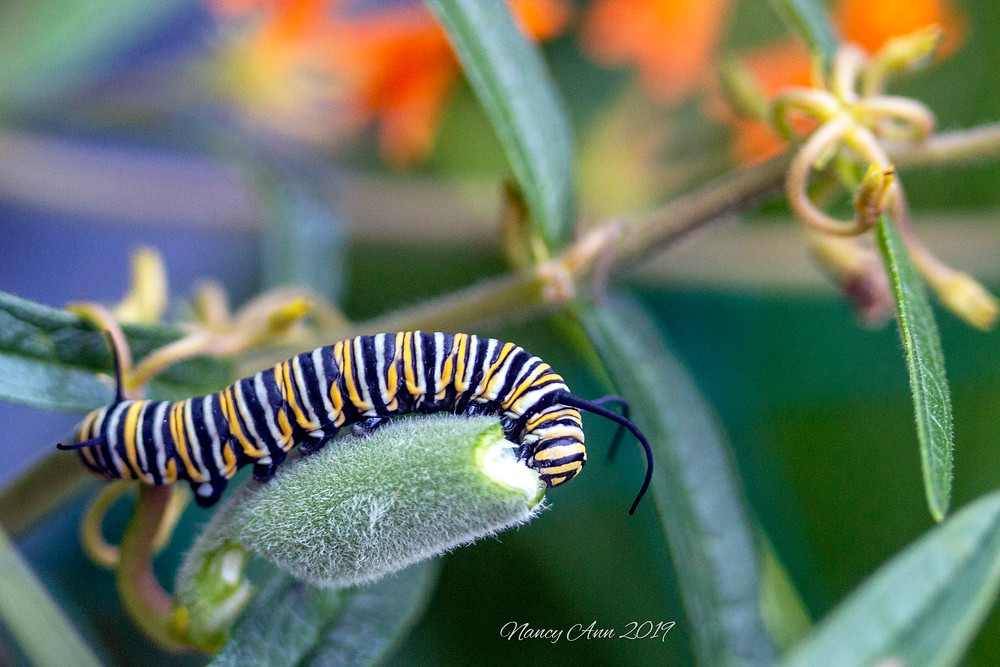 Monarch butterfly caterpillar enjoying milkweed