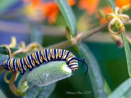 Plant Milkweed to Attract Monarch Butterflies.
