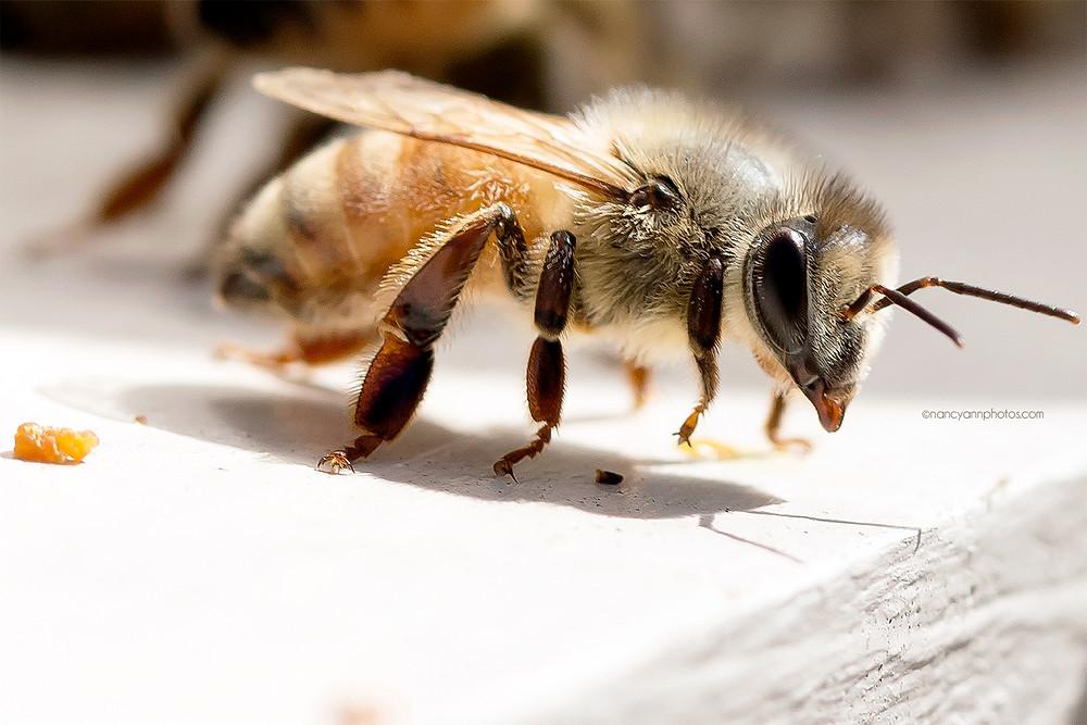 female worker honey bee