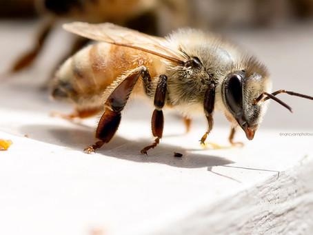 The Hard Working Honey Bee