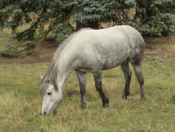 Elja from Hestar Ranch
